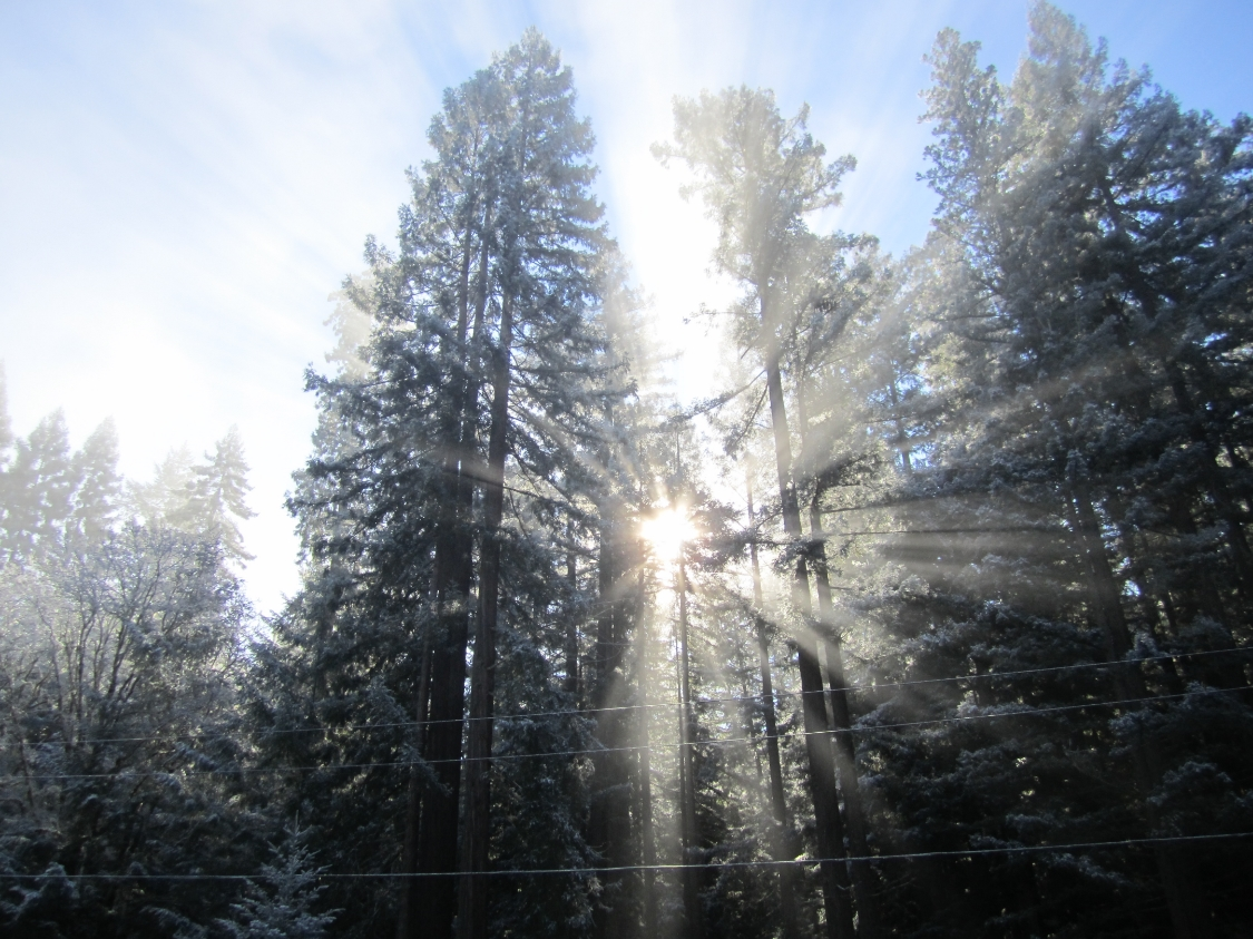 sun-thru-tall-trees.jpg