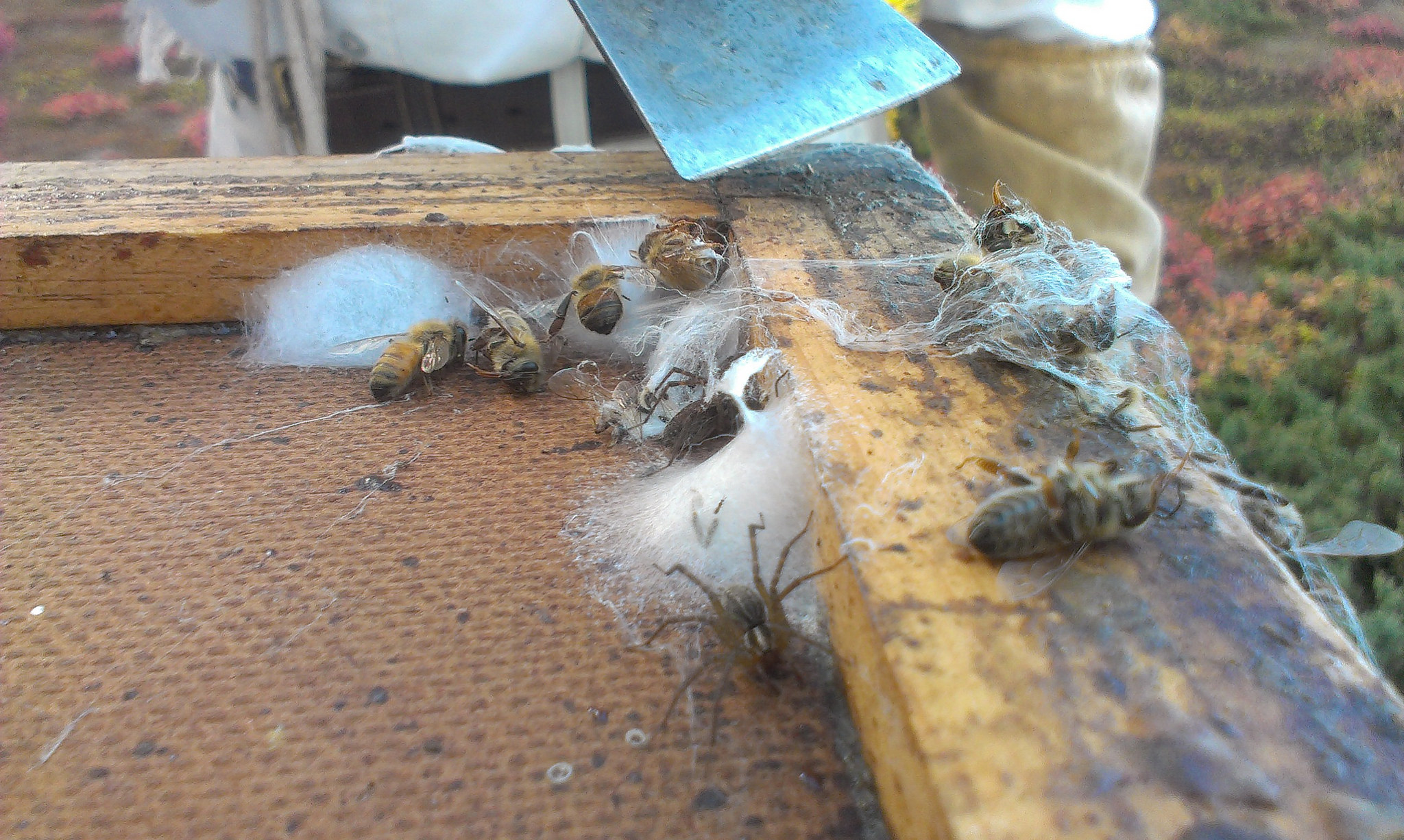 Wolf Spiders living in the inner cover of a beehive.