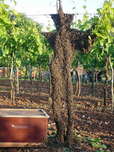 swarm on vine.jpg