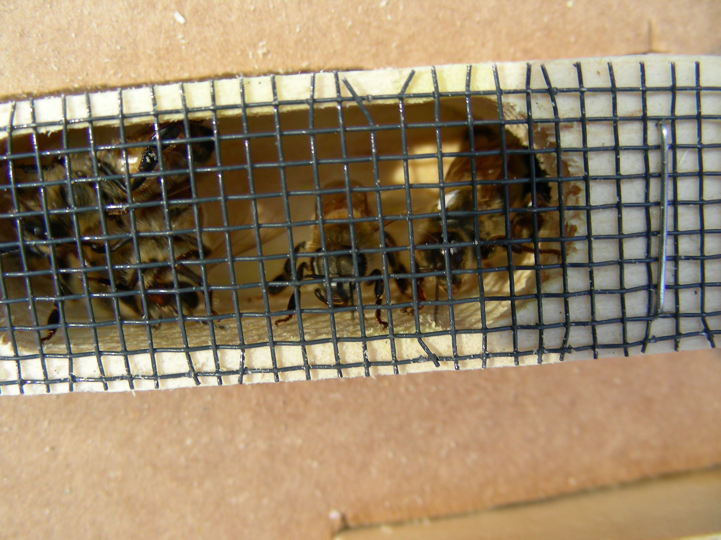 Marked Queen in cage.JPG