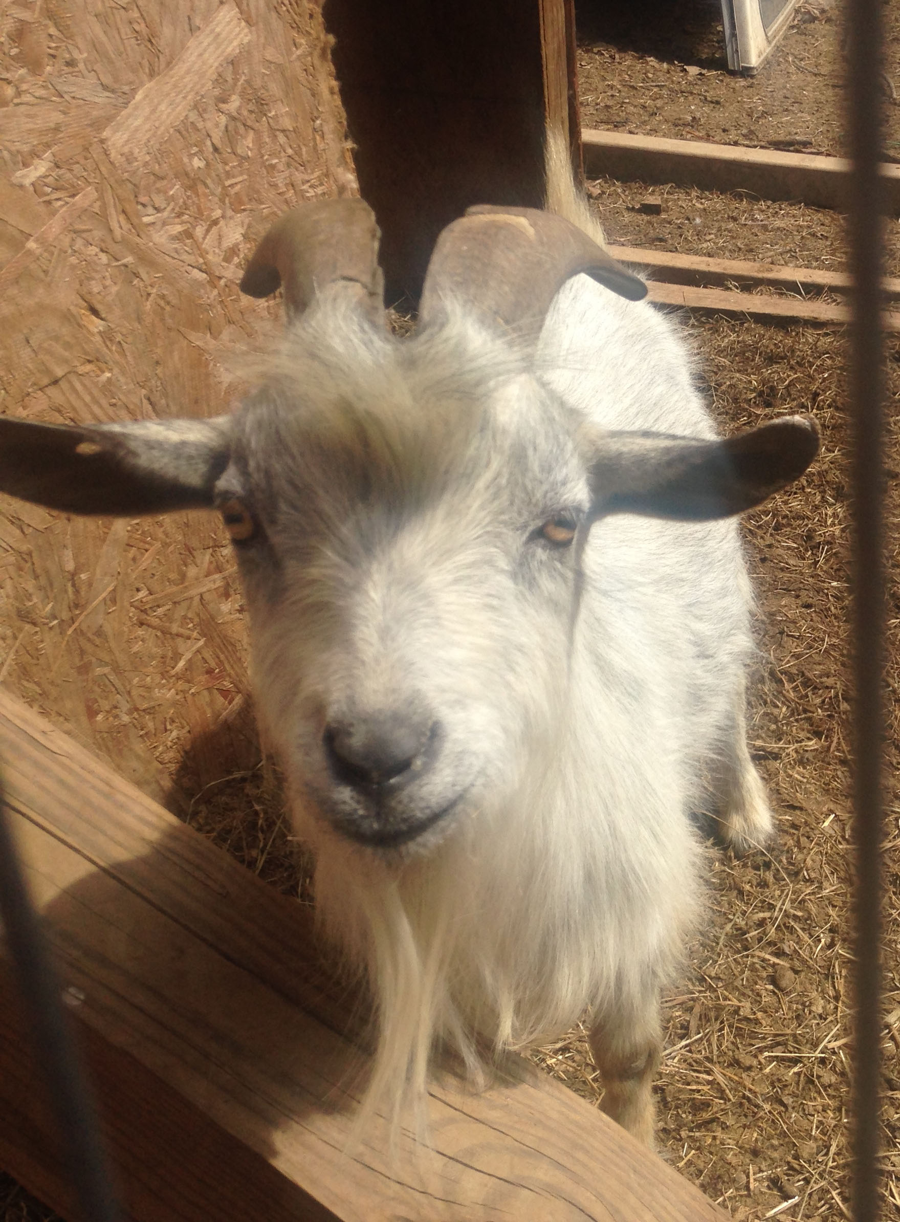 Breezy Hill Alpaca Farm, small & friendly goat happy to pose for the camera.