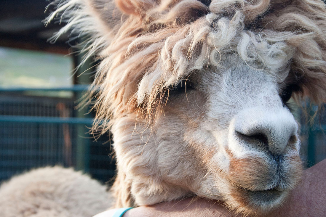 Dustin Kahn Brookfarm Alpacas_ It's about the fiber!  Fibershed Blog