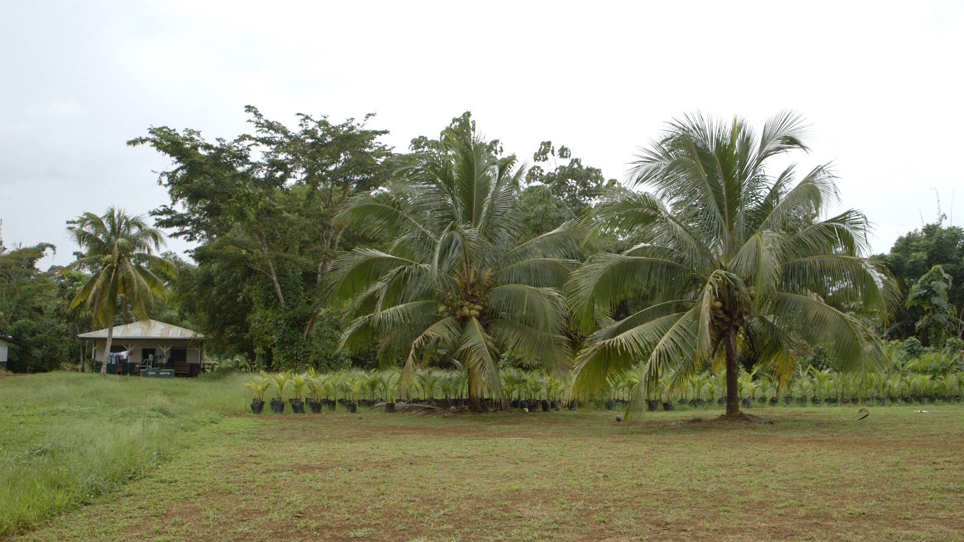 Coconut Tree and Starters
