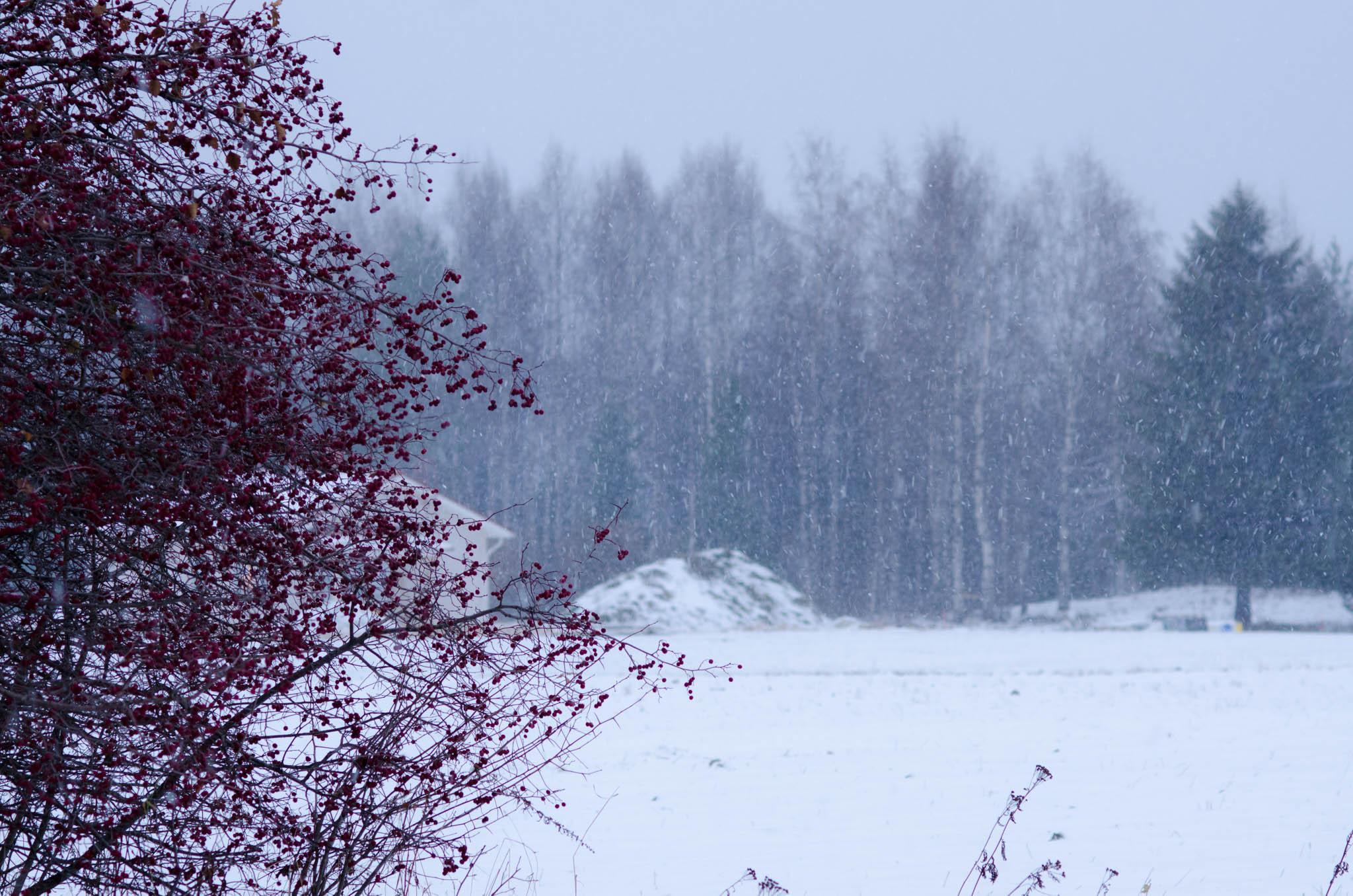 Rowanberry Tree and Snow, Selkie