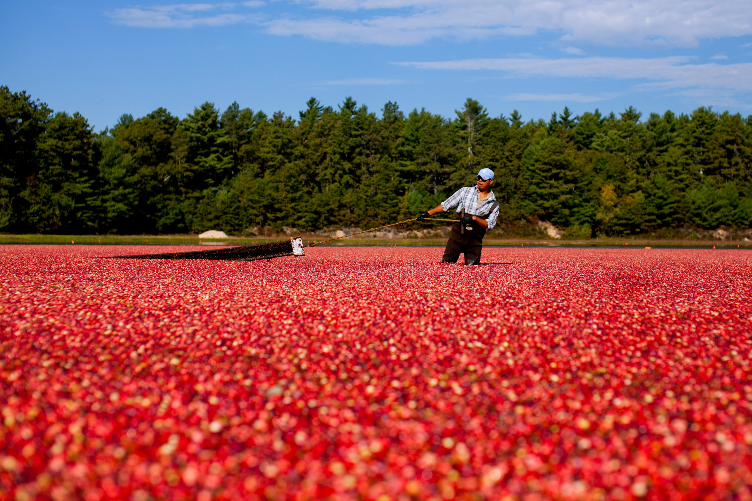 Cranberry harvester Felipe Amparez uses a floating boom to corral ripe cranberries towards an industrial pump at the Bumpus cranberry bog during the fall cranberry harvest for the A.D. Makepeace Company in Carver, Massachusetts on Wednesday, October 2, 2013.  A.D. Makepeace is the world's largest cranberry producer.  Matthew Healey/Bloomberg