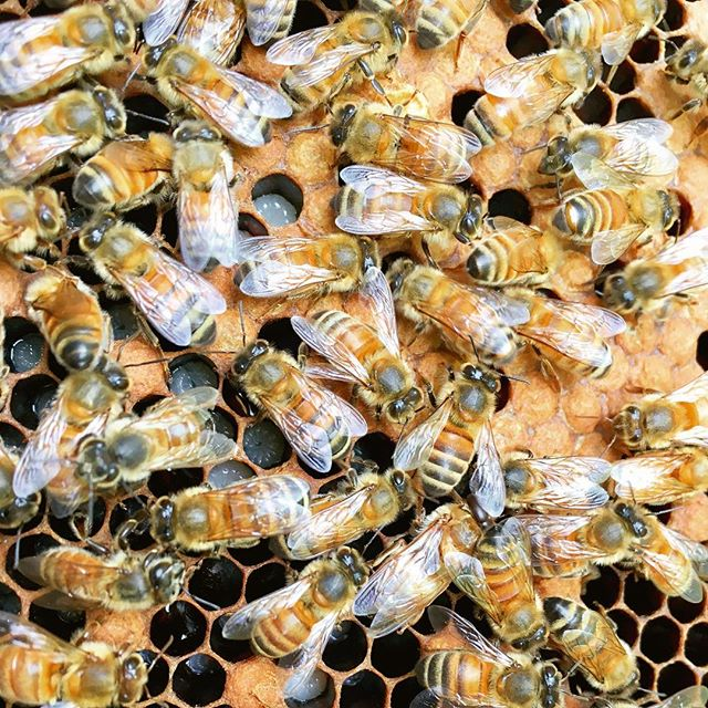 Did you know that during the colder seasons, worker bees can live for over nine months? Although in the summer, they rarely last longer than six weeks—they literally work themselves to death. Bees are incredibly hard workers and we should not let their efforts go to waste. ⁣⁣ Join the movement to protect our pollinators from pesticides and other detrimental agents. Plant a variety of organic flowering sources in whatever space you have available and aid our pollinator population! Visit the link in our bio for more helpful tips 👆🌿🐝✨