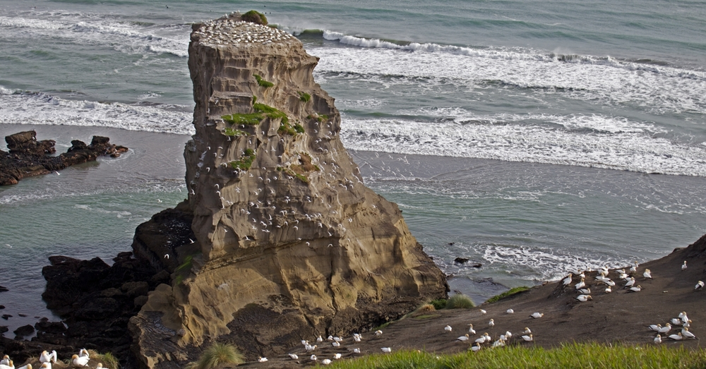 A lot of gannets.