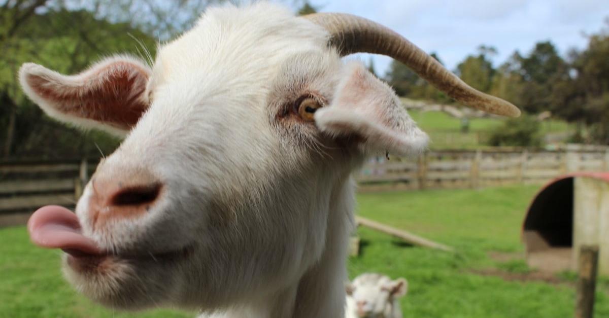 A Goat at Sheepworld