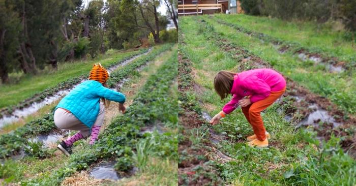 Picking strawberries.