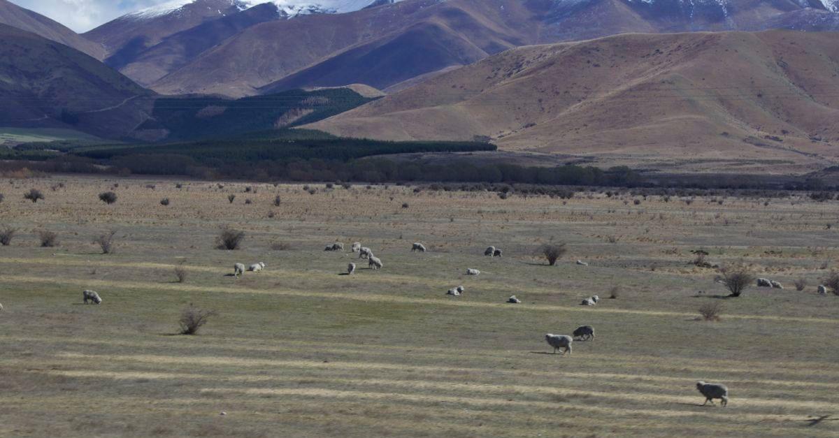 Sheep of Rohan.