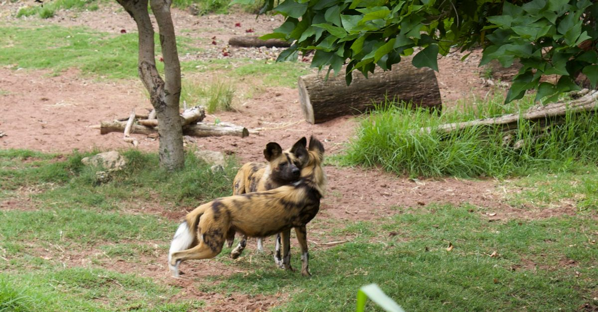 Painted dogs.