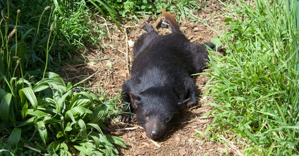 Tasmanian devil soaking up the sun.