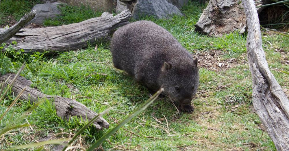 Mabel the wombat