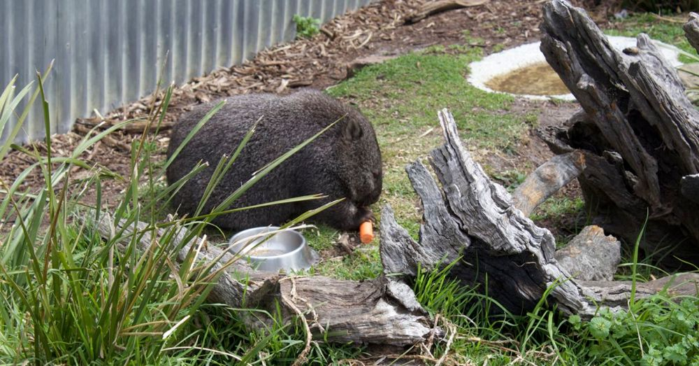 Mabel the wombat likes carrots.