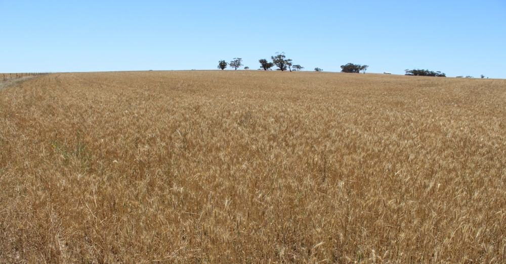 Big (Organic) Wheat