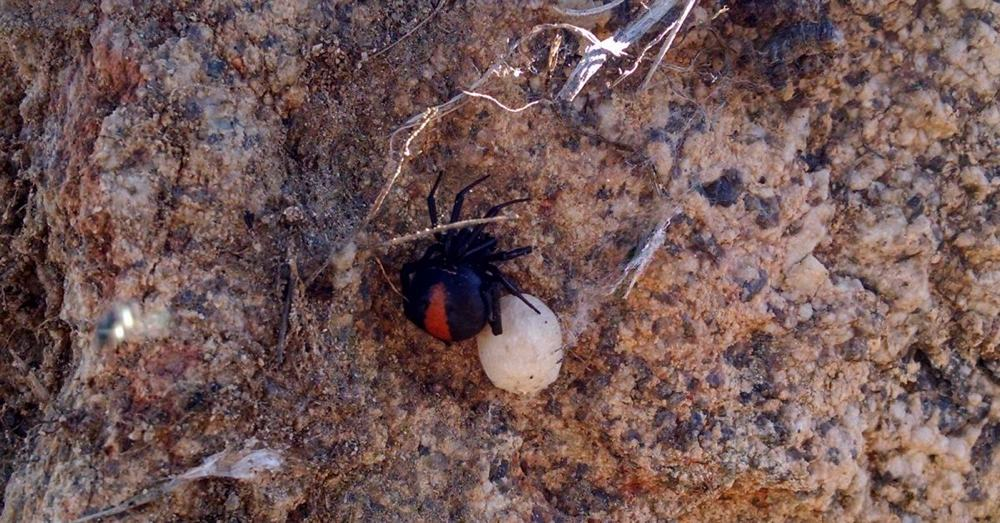 Red backed spider