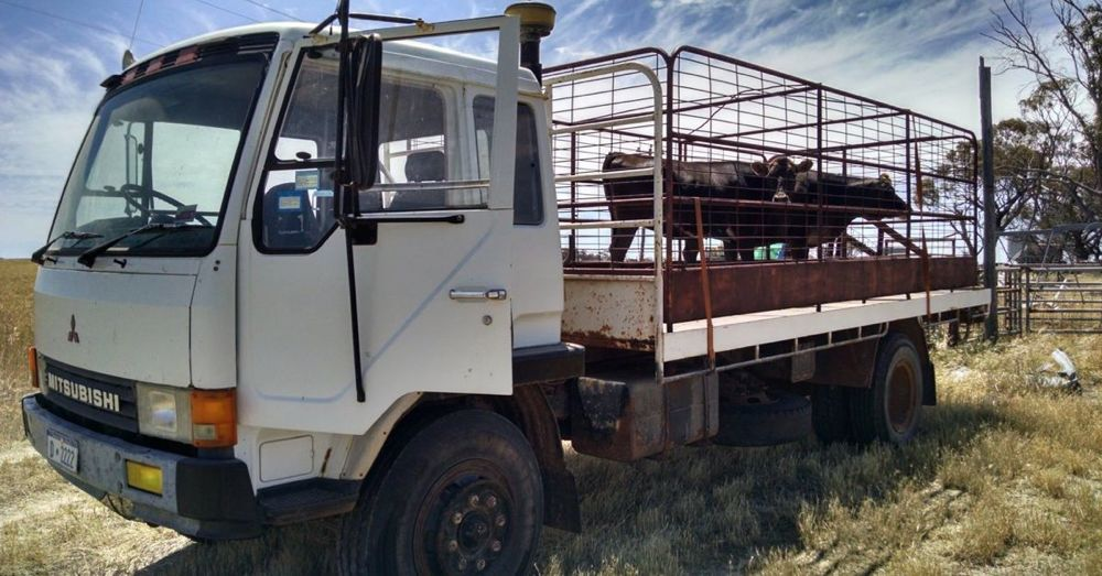 Moving cows.