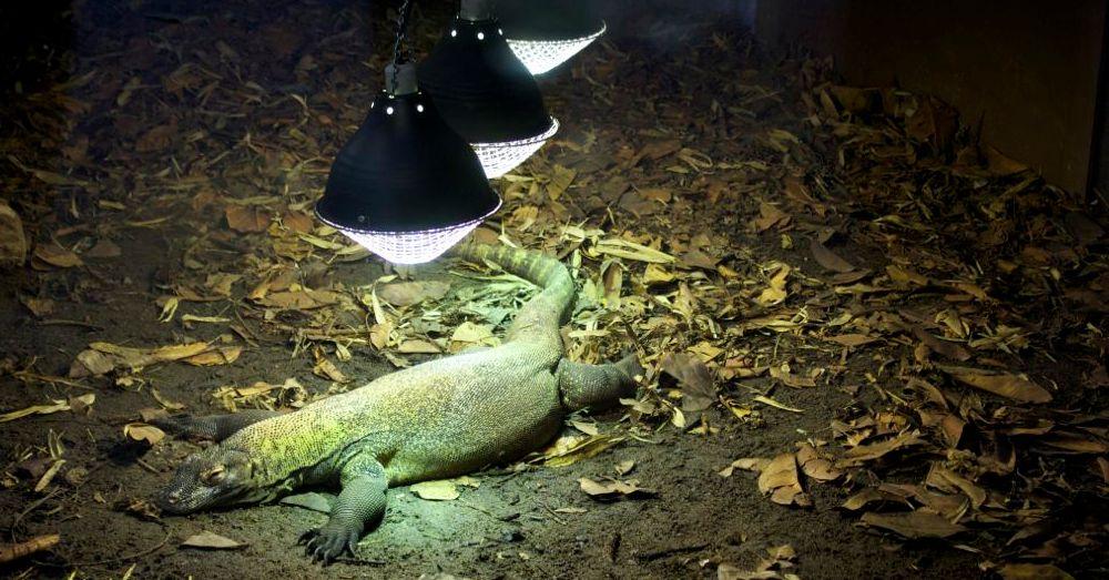Perth Zoo: Li'l Komodo
