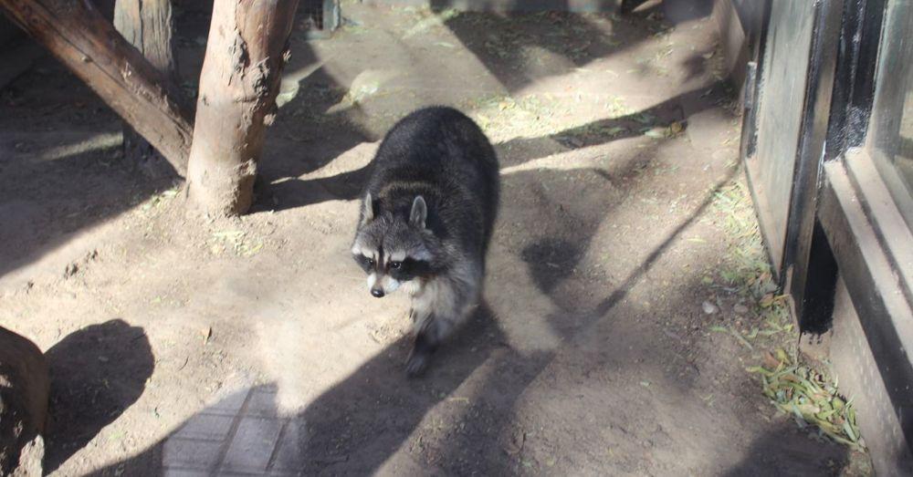 Fat Raccoon