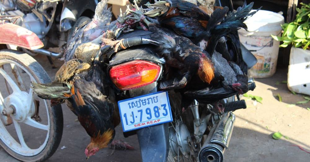 Chickens on a Motorbike