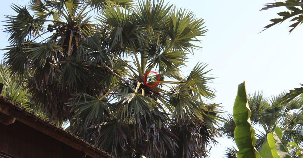 Palm Sap Collection