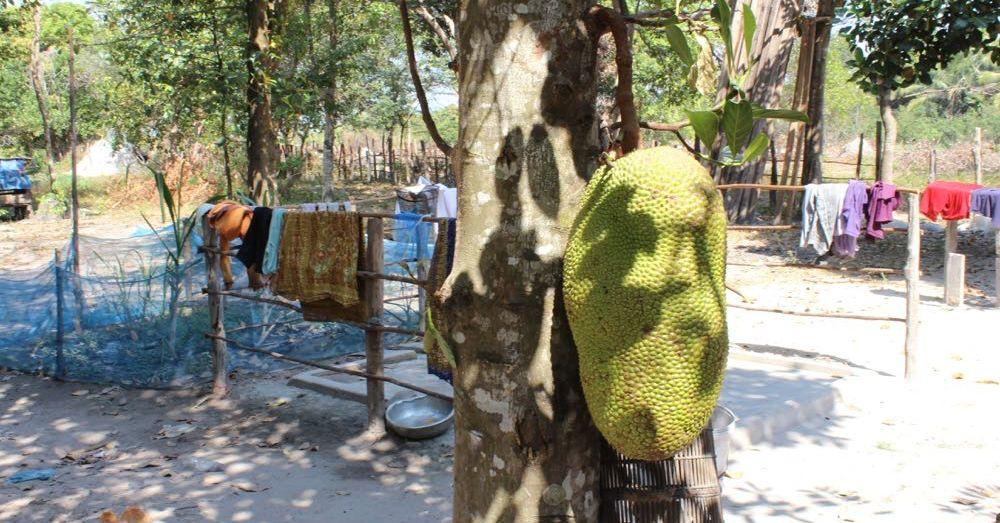 Huge Jackfruit