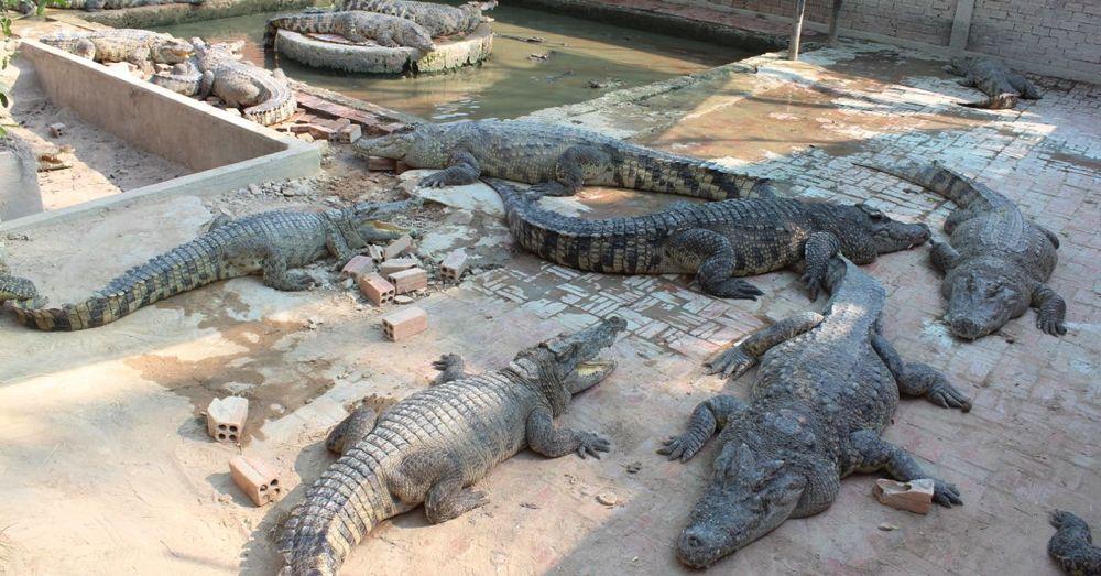 Backyward Crocodile Farm