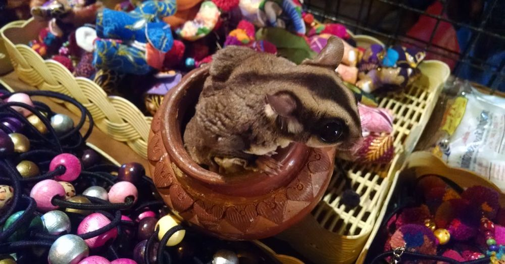 Flying Squirrel in a Pot