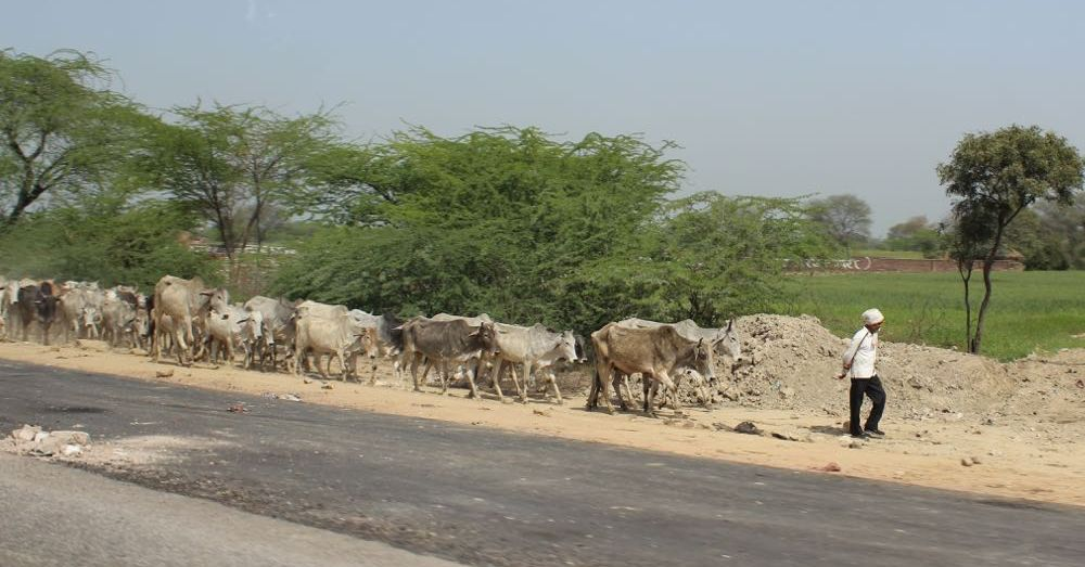 Herd of Cows on the Highway