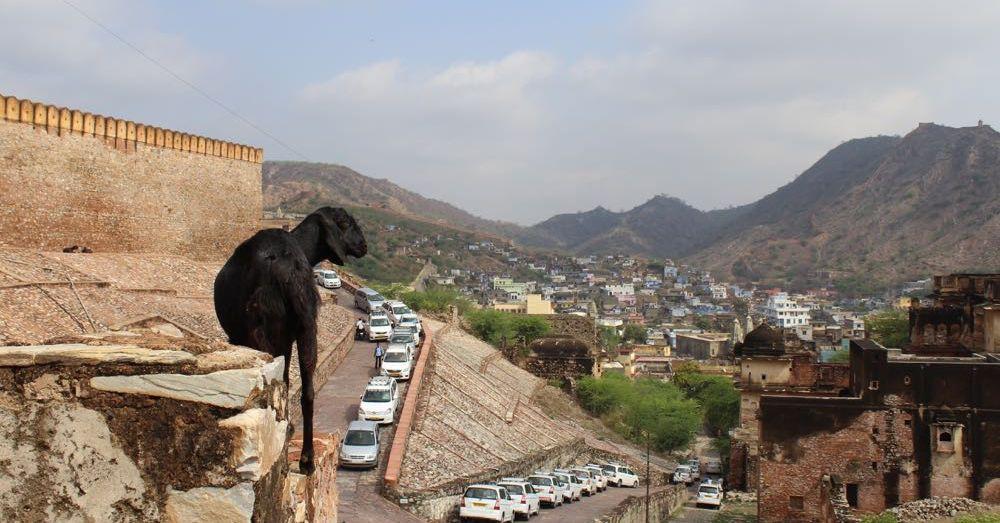 Goat at Amer Fort
