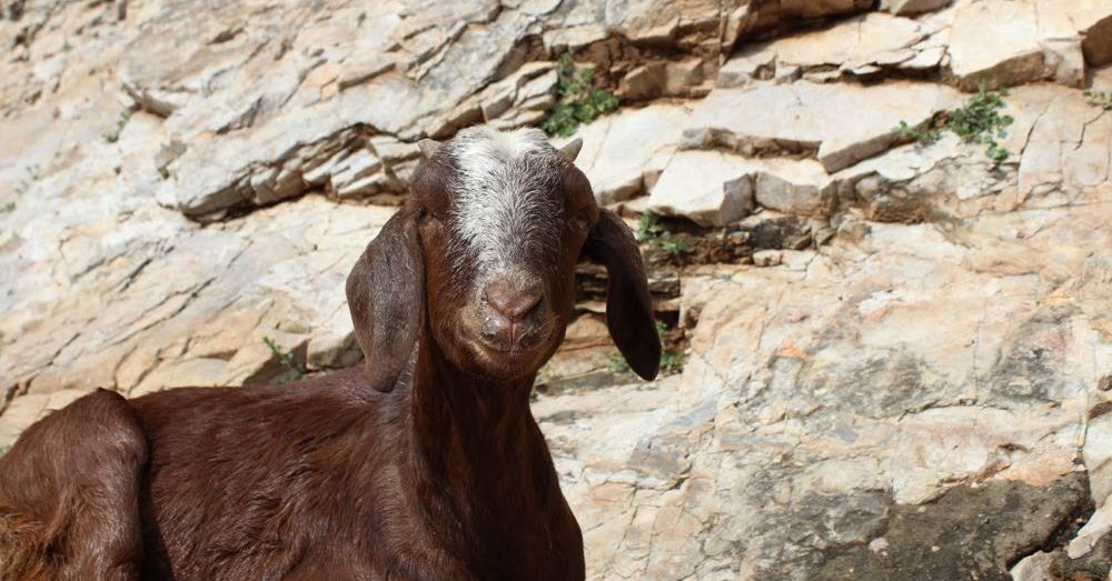 Another Goat at Amer Fort