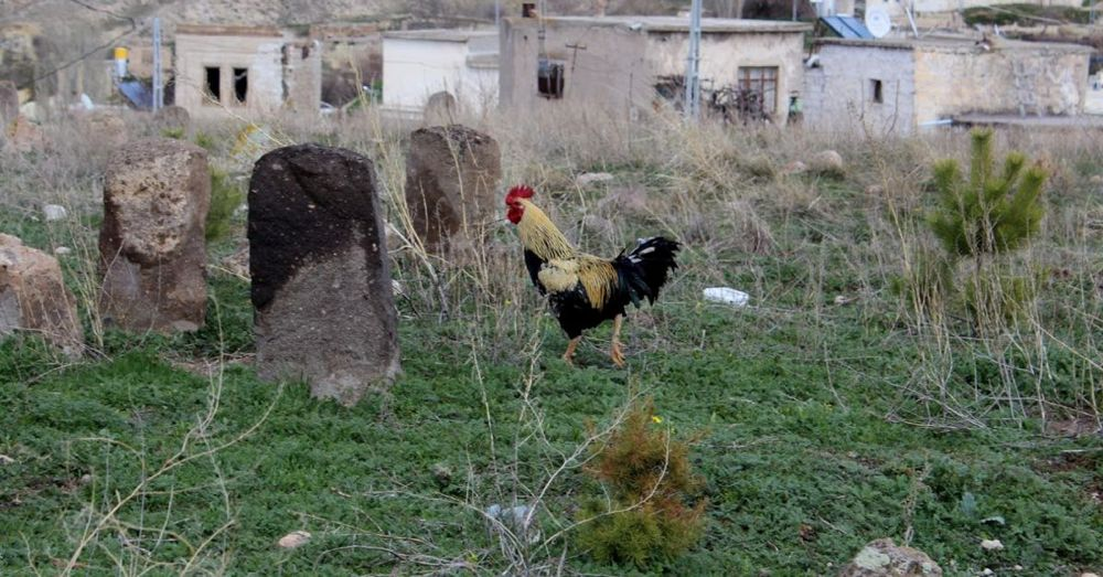 Rooster in a Cemetery