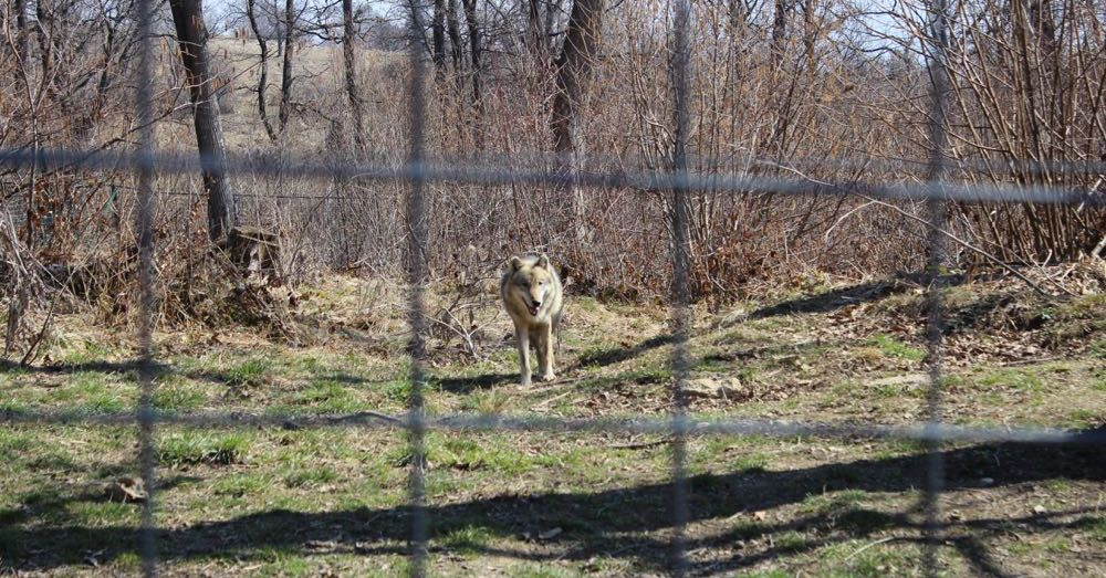 Wolf at the Libearty Bear Sanctuary