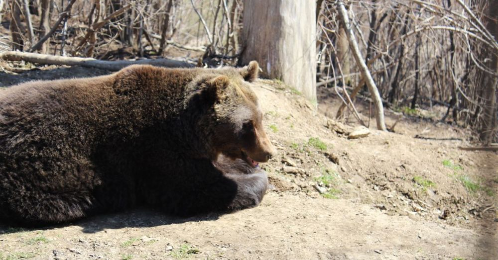 Tex, the bear from the Uranium Factory