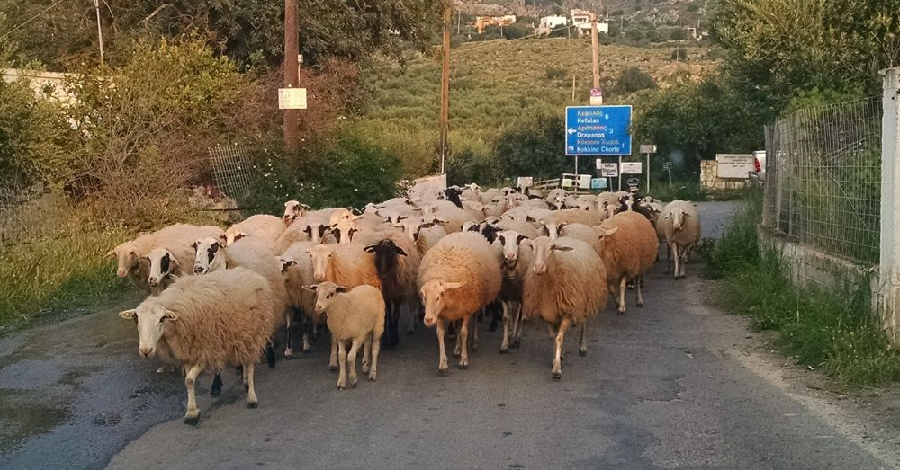 Sheep on Crete