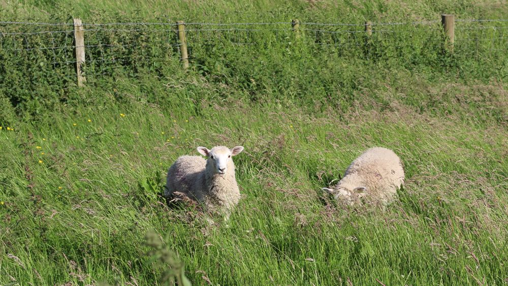Sheep along Hadrian's Wall