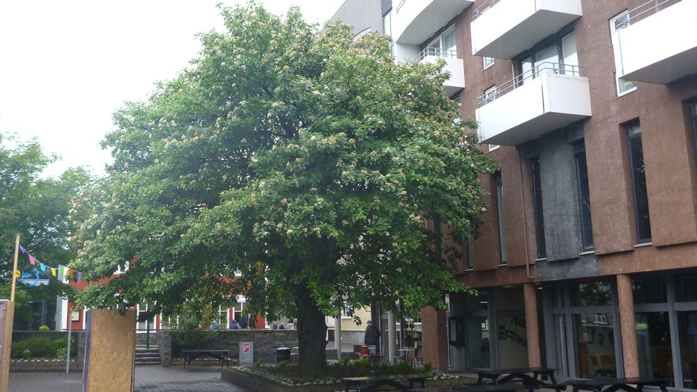 The oldest tree in Reykjavik.