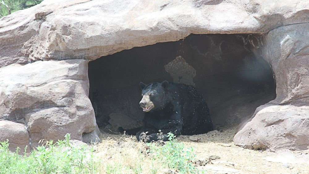 A bear lounging in a cave in Bearizona.