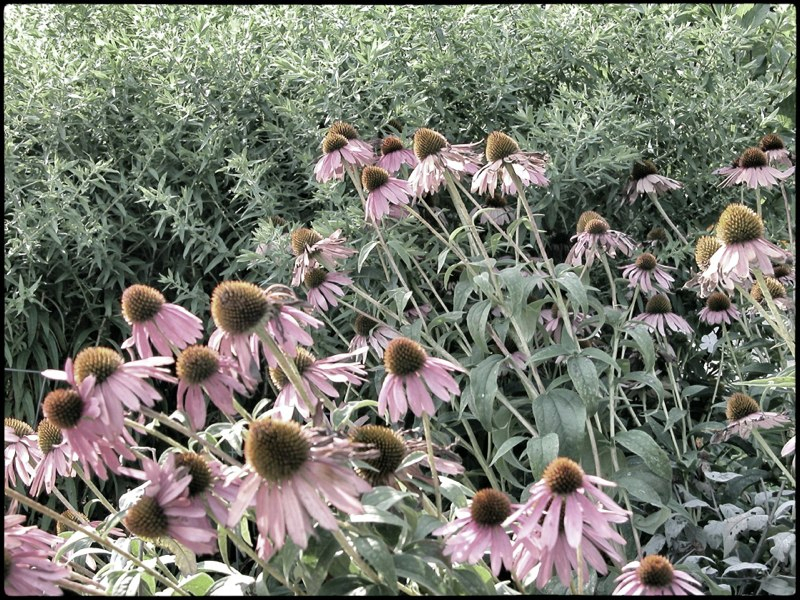 coneflowers_snapseed.jpg