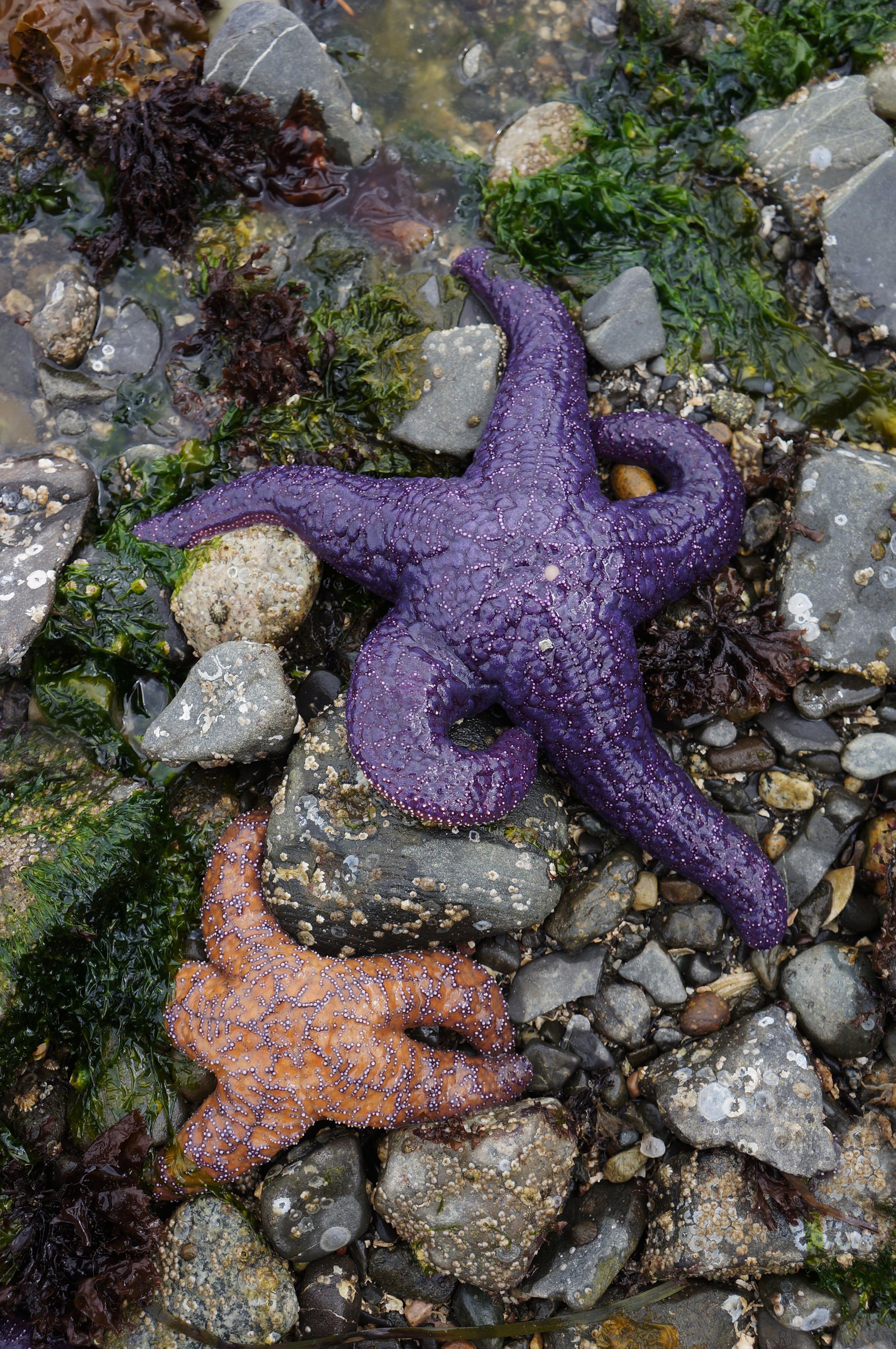 IOA_Lummi_Purple_Starfish_Edit_2.jpg