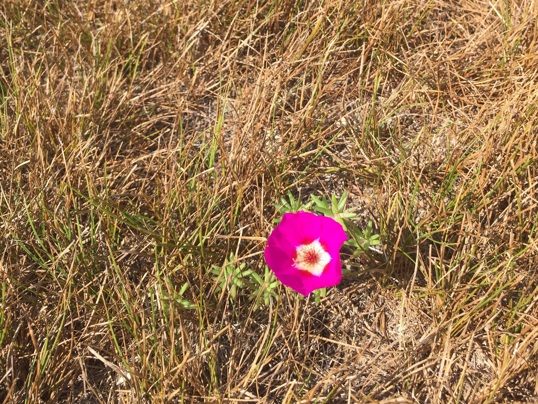 amy_chen_design_sandy_hook_beach_wild_flower_pink.JPG