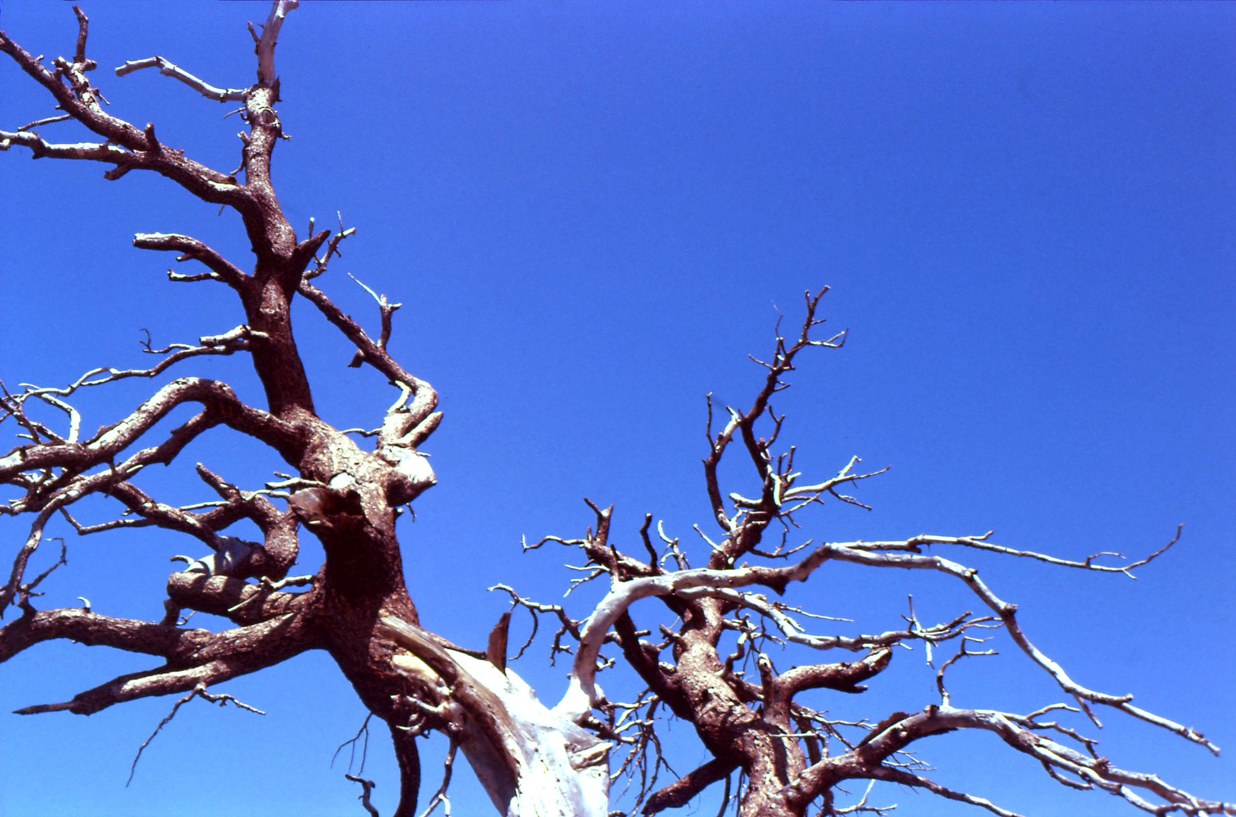 mesaverdetree.jpg