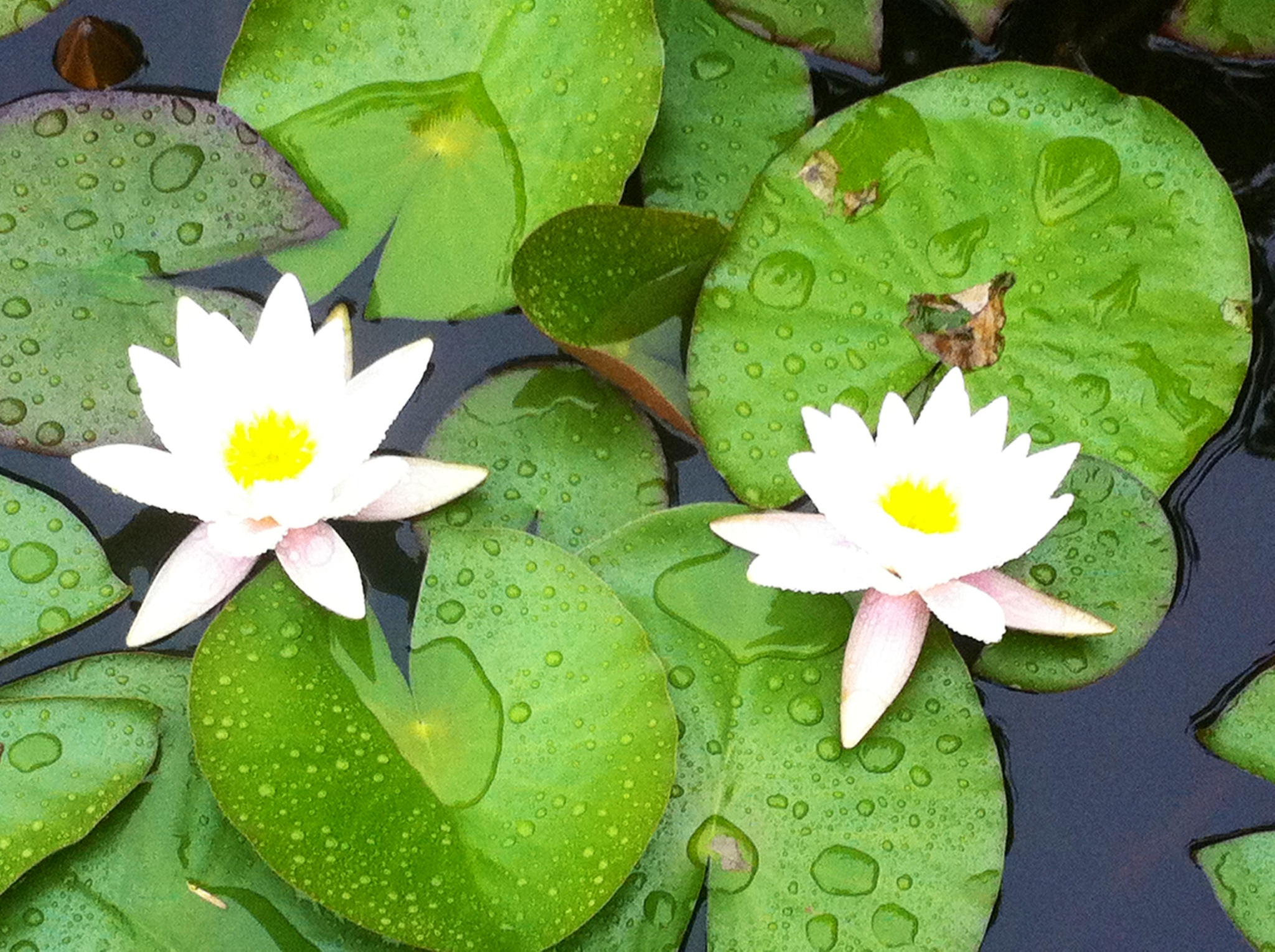 white water lilies.jpg
