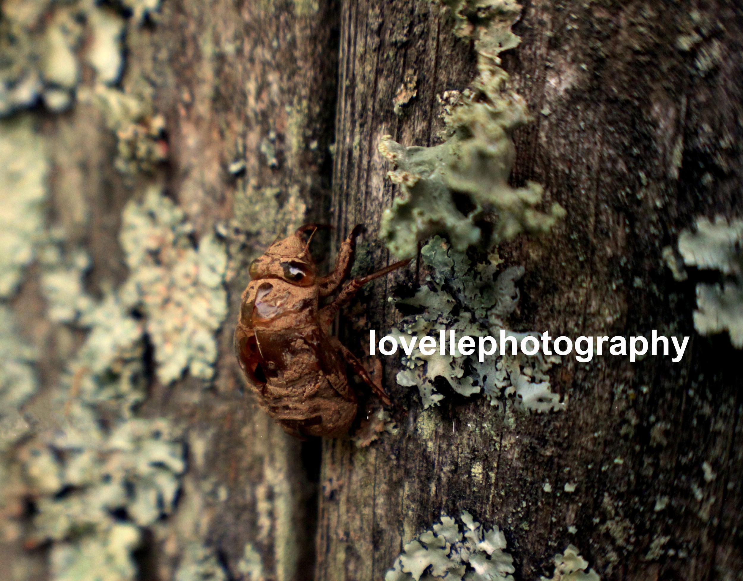 cicada...etsy.jpg