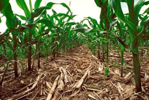 corn_no_till.jpg