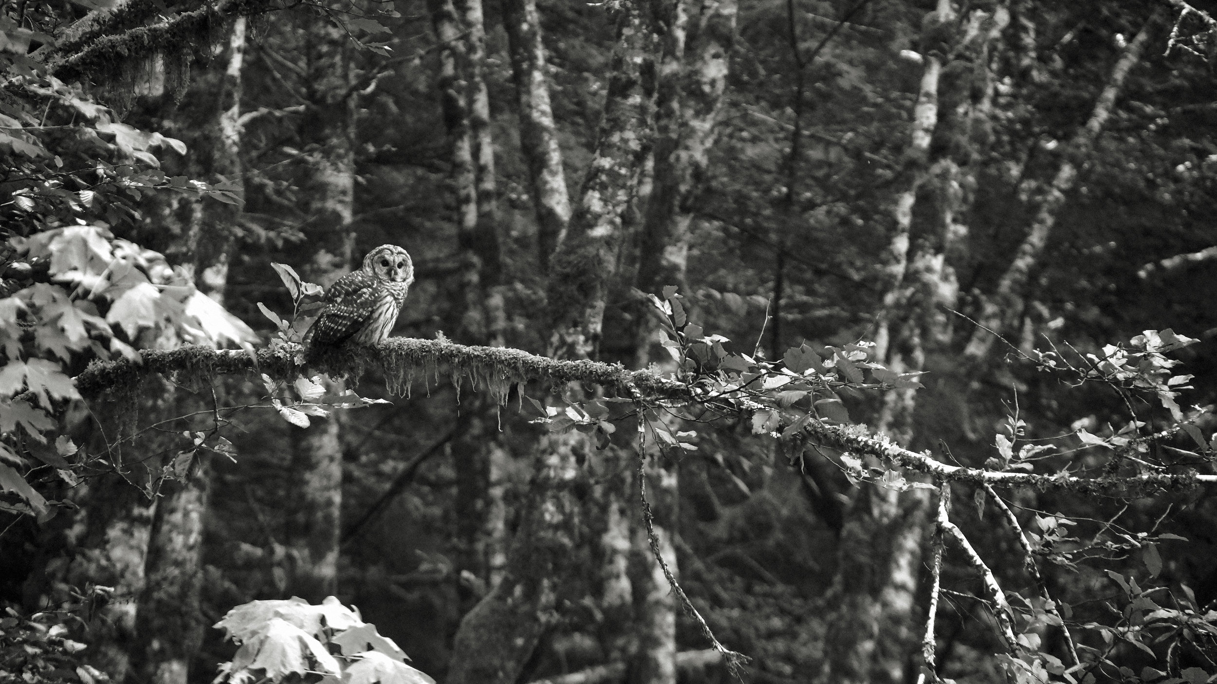 spotted owl.jpg