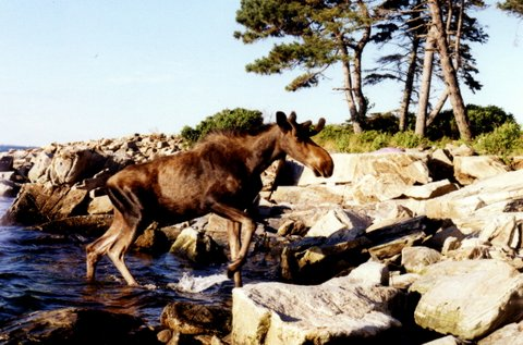 Moose on Cape, photo by Eben Brook.jpg