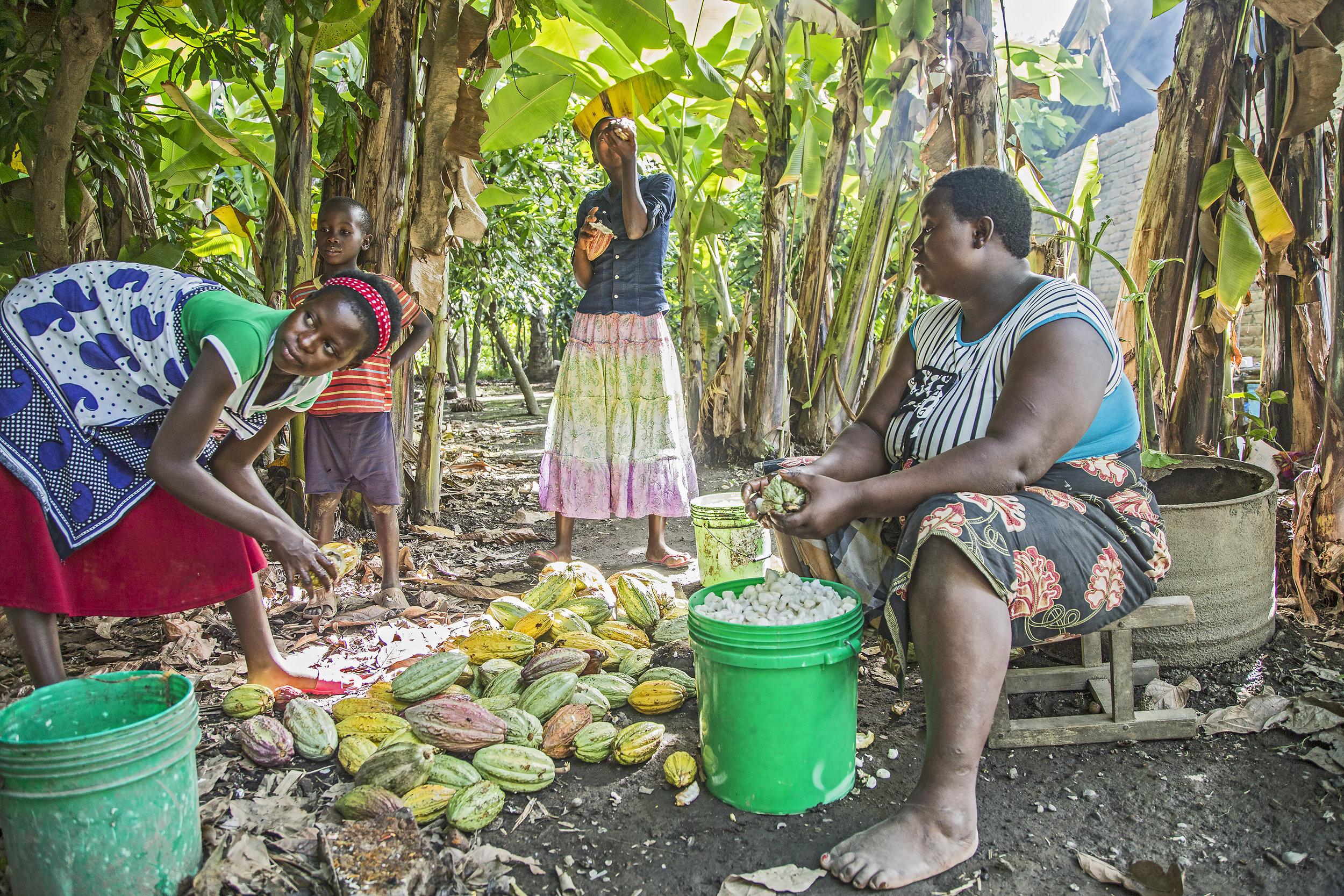Enjoying the Cacao harvest in the Mbeya region, Tanzania.