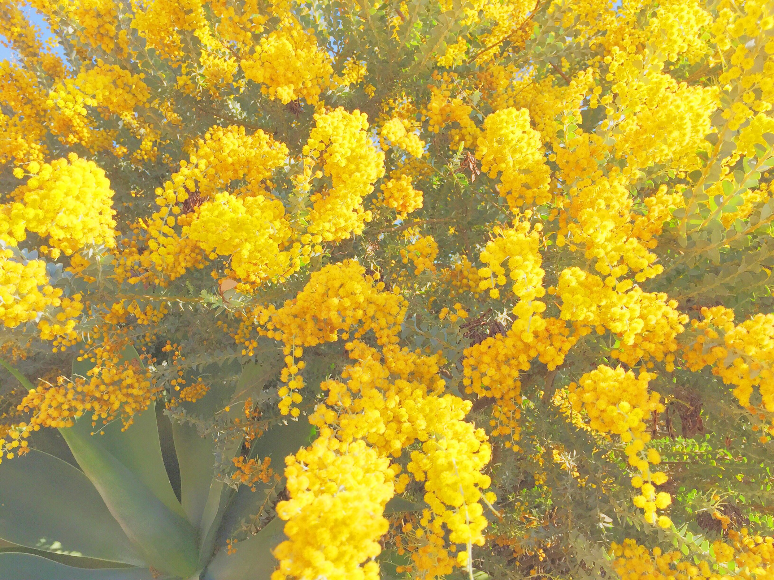 yellow spring_iphonevsco1.jpg