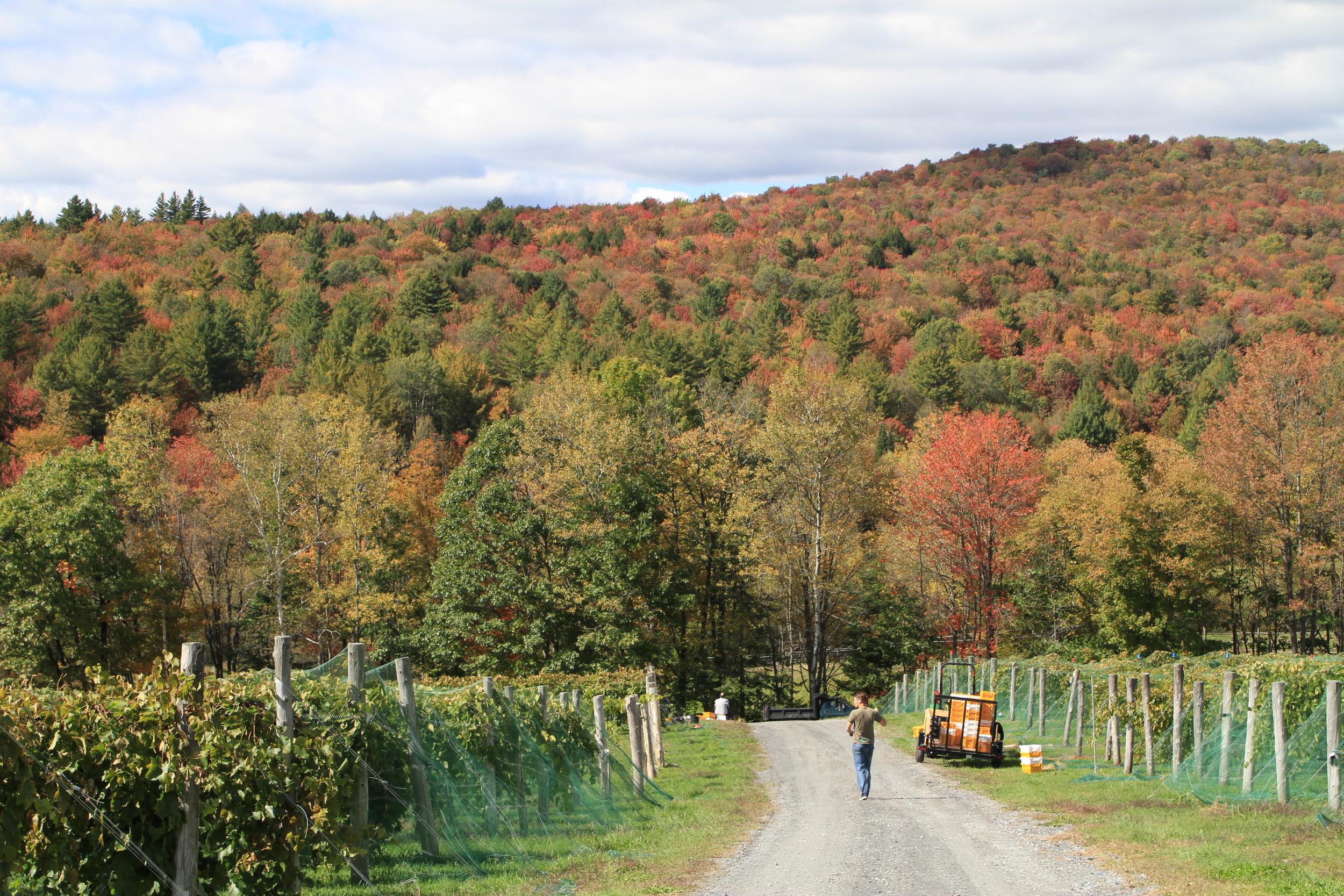 Vermont Vineyards Mean Vermont Foliage